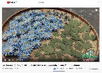 Làm hoa cúc cực đơn giản từ set cánh cắt sẵn