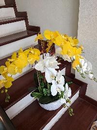 Chậu lan hồ điệp 5 cành 1 nhánh vàng trắng 03