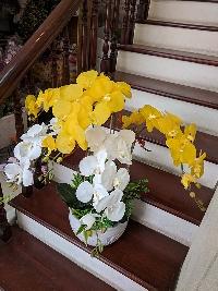 Chậu lan hồ điệp 5 cành 1 nhánh vàng trắng 04