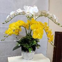 Chậu Lan Hồ Điệp 9 cành Rực Rỡ Sắc Xuân