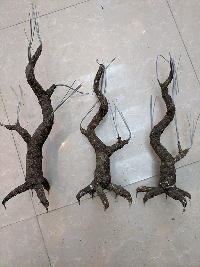 Gốc cây bonsai cỡ trung bình 04
