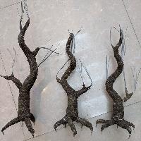 Gốc cây bonsai cỡ trung bình